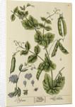 'Pisum' by Elizabeth Blackwell