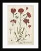 Caryophyllus ruber by Elizabeth Blackwell
