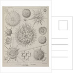 Various classes of radiolarian by E Giltsch