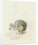 Dodo, with Cassowary and Heron [?] by Anonymous