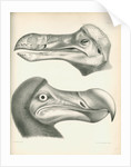Two studies of a Dodo head by Joseph Dinkel