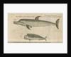 Marine life of Australia [New Holland] observed by William Dampier (1651-1715) by Anonymous