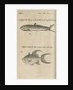 Marine life observed by William Dampier (1651-1715) by Anonymous