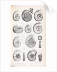 Various forms of ammonites by Edward Lear