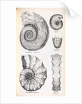 Four genus of ammonite by Edward Lear