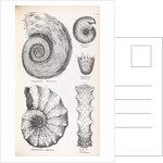 Four genus of ammonite by Edward Lear