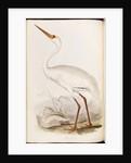 White Crane by Edward Lear