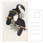 Culmenated Toucan by Edward Lear