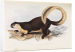 Malayan Giant Squirrel by I W Moore
