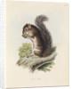 Mexican tree squirrel by Thomas Landseer