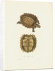 Spiny Turtle by J D C Sowerby