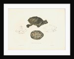 Indian Roofed Turtle by J D C Sowerby