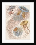 'Discomedusae' [jellyfish] by Adolf Giltsch