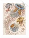 'Discomedusae' [jellyfish] by Adolf Giltsch