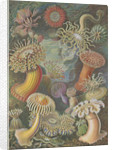 'Actiniae' [sea anemones] by Adolf Giltsch