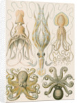 'Gamochonia' [octopus and squid] by Adolf Giltsch