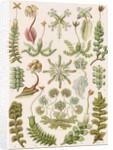 'Hepaticae' [liverworts] by Adolf Giltsch