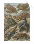 'Chelonia' [turtles, tortoises and terrapins] by Adolf Giltsch