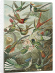 'Trochilidae' [humming birds] by Adolf Giltsch