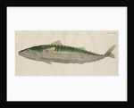 'Le Maquereau' [Atlantic mackerel] by Anonymous