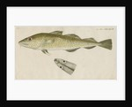 'Le Torsk' [juvenile Atlantic cod?] by Anonymous