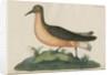 'Le Vaneau, gris de fer' [Curlew sandpiper] by Anonymous