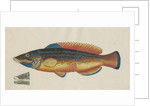 'Le Paon Bleu' [Cuckoo wrasse] by Anonymous