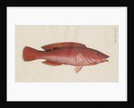 'Paon Rouge' [Cuckoo wrasse] by Anonymous