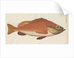 'Perche Rouge ou Norvegienne' [Rose fish] by Anonymous