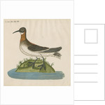 'Le Coq Dodin' [Red-necked phalarope] by Anonymous