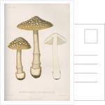 'Agaricus (Amarnita) Strangulaus' [Snakeskin Grisette mushroom] by Abraham Lundquist & Company