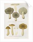 'Agaricus (Tricholoma) Portentosus' [Dingy Agaric mushroom] and 'Agaricus (Tricoloma) Fucatus' by Abraham Lundquist & Company