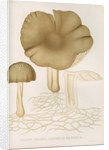 'Agaricus (Collybia) Platyphyllus' [mushrooms] by Abraham Lundquist & Company