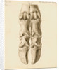 Fossil metacarpal bones of a bos by William Clift