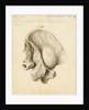 Fossil hyaena skull by William Clift