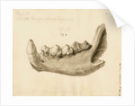Fossil hyaena jaw by William Clift