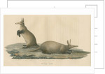'Orycteropus capensis' [Aardvark] by F Keller