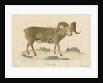 'Ovis nivicola' [Snow sheep] by J Gumpel junior
