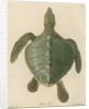 'Chelonia olivacea' [Olive Ridley sea turtle] by J Gumpel junior