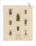 Eight specimens of beetles by J Gumpel junior