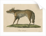 'Canis ochropus' [California valley coyote] by Friedrich Guimpel