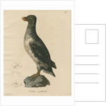 'Ombria psittacula' [Parakeet auklet] by C E Weber