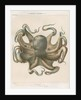 'Octopus vulagaris' [Common octopus] by Antoine Toussaint de Chazal
