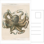 'Octopus vulagaris' [Common octopus] by Antoine Toussaint de Chazal
