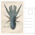 'Octopus violaceus' [Violet blanket octopus] by Antoine Toussaint de Chazal