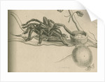 'Bird-eating spider with humming bird' by Joseph Mulder