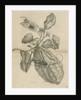 'Harlequin beetle on citron fruit' by Joseph Mulder