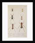 Six species of ant Six species of ant by West