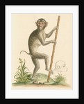'The pig-tailed monkey from the Island of Sumatra...' [Pig tailed macaque] by George Edwards