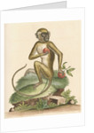 'The St Jago monkey' [Green monkey] by George Edwards
